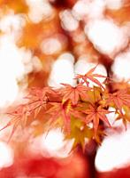 Beautiful artistic closeup of Japanese maple, Acer palmatum, red leaves glowing in autumn misty sunlight, abstract background, Kyoto, Japan.