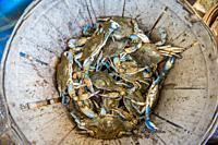 Bushel of freshly caught Chesapeake blue crabs in basket, Dundalk, Maryland. USA.