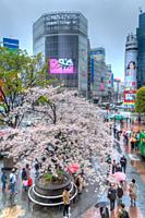 Shibuya Crossing on a wet day during cherry blossom time in Tokyo, Japan, Asia.
