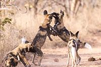 Africa, Southern Africa, South African Republic, Mala Mala game reserve, African wild dog or African hunting dog or African painted dog (Lycaon pictus...