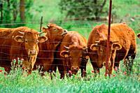 Cattle grazing in the field.