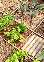 Squared vegetable garden in city with parsley, cabbage and salad.