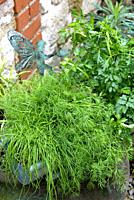 Aromatic herbs in pot with dill, parsley and chives