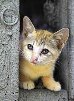 Thailand, Bangkok, Wat Pho, kitten,.