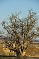 Hundred-year old Common Walnut (Juglans regia). Almansa. Albacete province. Spain.