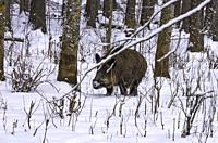 Wild pig) in a snowy wintery forest.