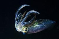 Bigfin reef squid, Sepioteuthis lessoniana, Anilao, Batangas, Philippines, Pacific.