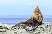 Steller Sea Lion, Eumetopias jubatus, Salish Sea, British Columbia, Canada, Pacific.