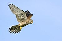 Female Kestrel ( Falco tinnunculus ) hovering at clear blue sky, wildlife, Europe.
