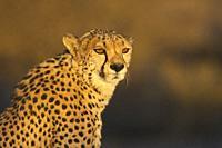Cheetah (Acinonyx jubatus). Male. In the evening. Photographed in captivity on a farm. Namibia.