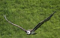 Vulture in flight during a flight demonstration at Warwick Castle, Warwickshire, England.