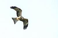 Eagle in flight during a flight demonstration at Warwick Castle, Warwickshire, England.