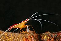 Hump-back Cleaner Shrimp (Lysmata amboinensis, Hippolytidae family), Ghost Bay dive site, Amed, east Bali, Indonesia.
