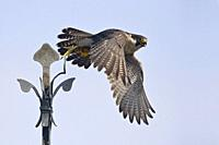 Peregrine Falcon / Duck Hawk (Falco peregrinus) in typical situation takes off from a church cross, wildlife, Germany, Europe.