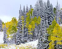 Snowing in the forest. Autumn. Big Cottonwood Canyon, Wasatch Range, Salt Lake City, Utah, Usa, America.