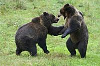 Eurasian Brown Bear / Brown Bears ( Ursus arctos ) playing with each other, Europe.