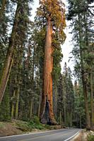 Giant Sequoia Tree along highway at sunset, Sequoia NP, USA.
