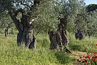 olive grove with some millennial olive trees in the gardens of the rural hotel Horta da Moura, Monsaraz, Reguengos de Monsaraz, Alentejo region, Portu...