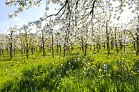 orchard with blooming cherry trees, near Oberkirch, Germany, foothills of Black Forest at spring time.
