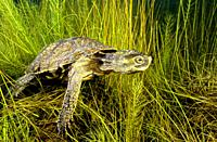Freshwater Rivers. Mediterranean pond turtle, Maurish turtle, Spanish pond turtle (Mauremys leprosa). Avia river. Pontevedra. Galicia. Spain. Europe.
