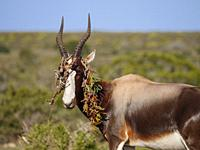Bontebok (Damaliscus pygargus) with a piece of sour fig, Cape fig or Hottentots fig (Carpobrotus edulis) draped over its horns. De Hoop Nature Reserve...