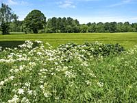 Cow Parsley in a Hedgerow at Hay a Park near Knaresborough North Yorkshire England.