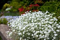 A large display of Cerastium tomentosum ´Snow-in-summer´ in a raised mixed flower bed of annuals and perennials plants.