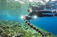 Banded sea krait, Laticauda colubrina, with photographer on Sebayur Island, Flores Sea, Indonesia.