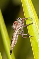 A femaie Robber Fly (Proctacanthus brevipennis) perches on the side of vegetation.