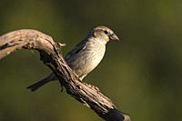Female Moor Sparrow (Passer hispaniolensis). In a forest in the Sierra de Guadarrama. Madrid, Spain