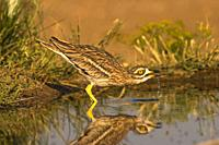 Common Rosewood (Burhinus oedicnemus). Drinking in a pond at dawn photographed in Villacañas Castilla la Mancha Spain.