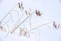 Marsh reeds protruding from the snow, Greater Sudbury, Ontario, Canada.
