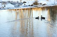 Overwintering ducks on open water of Junction Creek, Fielding Park Sanctuary, Greater Sudbury, Ontario, Canada.