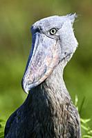 Whale headed / Whale headed / Shoebill (Balaeniceps rex) portrait. Swamps of Mabamba, Lake Victoria, Uganda, Africa.