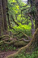 Gnarly limbs and bare roots in Fern Canyon forest, Prarie Creek Redwoods State Park, California, USA.