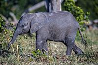 African Elephant baby playing with a stick in Ol Pejeta, Laikipia.