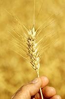 Holding a wheat ear.
