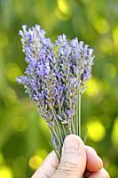 Bouquet of lavender flowers.