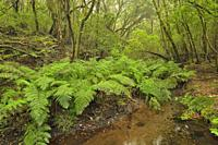 Laurisilva (Laurel forest) in Garajonay National Park, Gomera, Canary islands. Spain