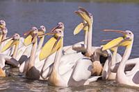 Africa, Ethiopia, Rift Valley, Ziway lake, Great White pelican (Pelecanus onocrotalus) around fishermen boats, they are waiting for the remains of fis...