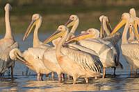 Africa, Ethiopia, Rift Valley, Ziway lake, Great White pelican (Pelecanus onocrotalus), on the water.
