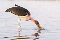 Africa, Ethiopia, Rift Valley, Ziway lake, Marabou stork (Leptoptilos crumenifer), looking for food in the water.