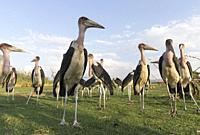 Africa, Ethiopia, Rift Valley, Ziway lake, Marabou stork (Leptoptilos crumenifer) on the ground around fishermen boats, they are waiting for the remai...