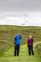 Tourists being dive-bombed by Arctic terns, Sterna paradisaea, at nesting time, Vigur Island, Iceland.