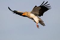 Egyptian Vulture at Faia Brava Reserve, Portugal.