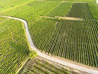Vineyards in Eguisheim, Haut-Rhin, Grand Est, France.