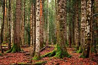 Beech and fir forest in the Ordesa y Monte Perdido national park. Huesca.
