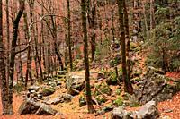 Beech forest in the Ordesa valley. Ordesa y Monte Perdido national park. Huesca.