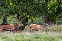 Motion blurred image of red deer (Cervus elaphus) stag chasing hind / female in heat in forest during the rut in autumn / fall