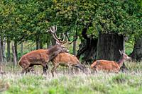 Red deer (Cervus elaphus) stag mating with hind / female in heat in forest during the rut in autumn / fall